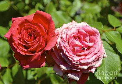 Botanical Photograph - Pink And Red Rose by Sontia Hall