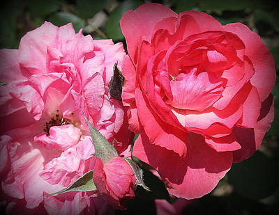 Photograph - Pink And Red Roses In Late Spring by Dora Sofia Caputo Photographic Design and Fine Art