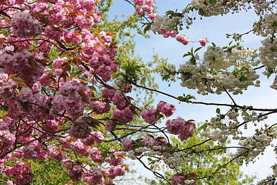 Photograph - Pink And White Blossoms by Vicki Spindler