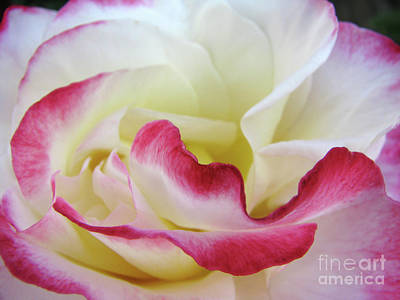 Photograph - Pink And White by C Ray Roth