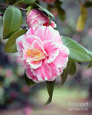 Photograph - Pink And White Camellia by Catherine Sherman