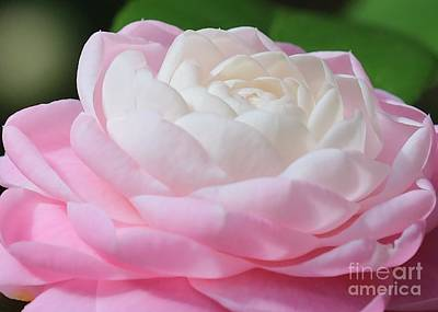 Photograph - Pink And White Camellia Closeup by Carol Groenen