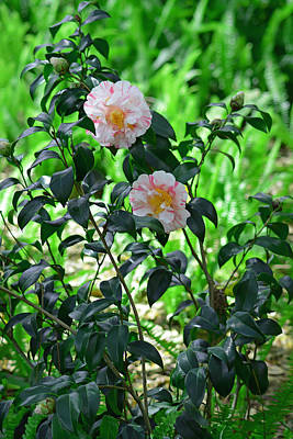 Pink And White Camellias Art Print by Aimee L Maher Photography and Art Visit ALMGallerydotcom