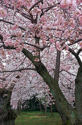 Photograph - Pink And White Cherry Blossoms by Emmy Marie Vickers