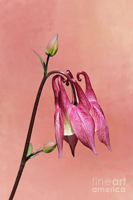 Photograph - Pink And White Columbine #2 V2 by Judy Whitton