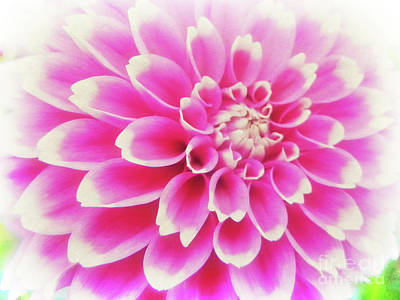 Photograph - Pink And White Dahlia by Jim And Emily Bush