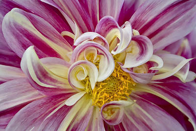 Photograph - Pink And White Dahlia  by Ken Barrett