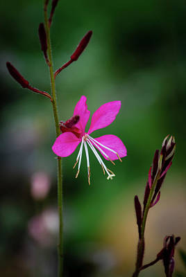 Photograph - Pink And White by Dennis Reagan