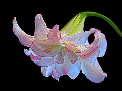 Photograph - Pink And White Double Amaryllis On Black by Gill Billington