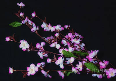 Photograph - Pink And White Flowers On Black by Scott Hervieux