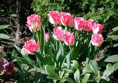 Spring Bulbs Photograph - Pink And White Fringed Tulips by Louise Heusinkveld