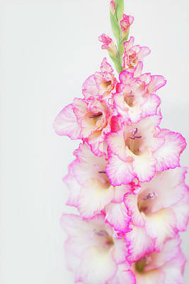 Photograph - Pink And White Gladiola by Susan Gary