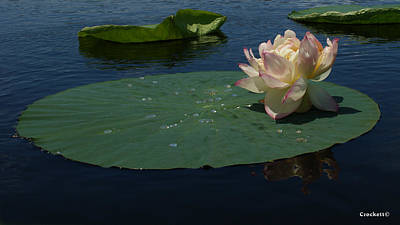 Photograph - Pink And White Lotus Flower On A Lily Pad by Gary Crockett