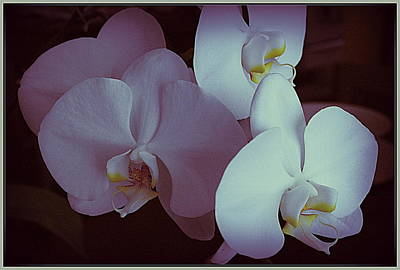 Photograph - Pink And White Orchids by Dora Sofia Caputo Photographic Design and Fine Art