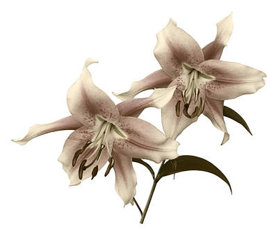 Photograph - Elegant Lilies by Jane McIlroy