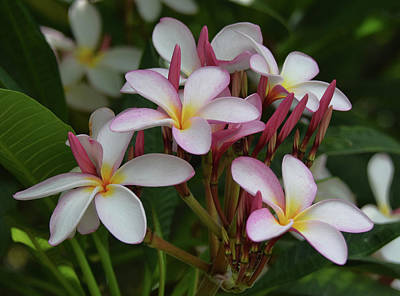 Art Print featuring the photograph Pink And White Plumeria by Pamela Walton