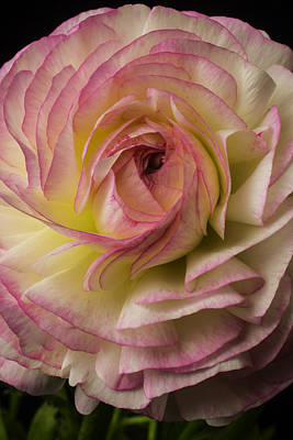 Ranunculus Flower Photograph - Pink And White Ranunculus by Garry Gay