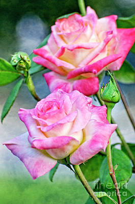 Photograph - Pink And White Roses In The Garden by Jim And Emily Bush