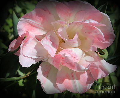 Photograph -  Pink And White Ruffled Tulip by Dora Sofia Caputo Photographic Art and Design