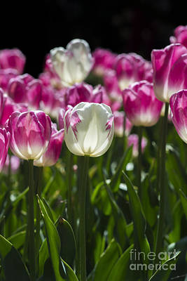 Photograph - Pink And White Tulips by Angela DeFrias