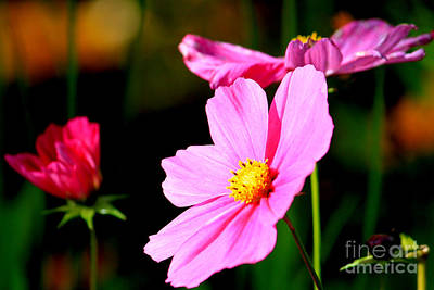 Photograph - Pink And Yellow Cosmo by James Eddy