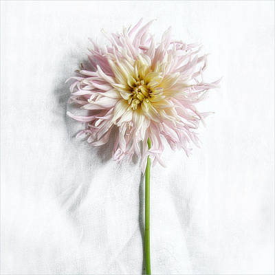 Photograph - Pink And Yellow Dahlia by Louise Kumpf
