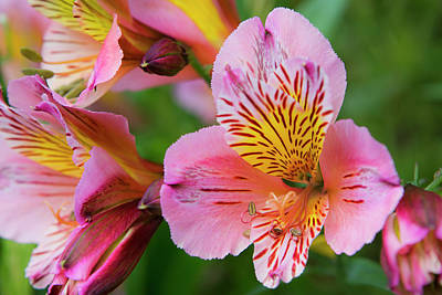 Photograph - Pink And Yellow Flora by David Hare