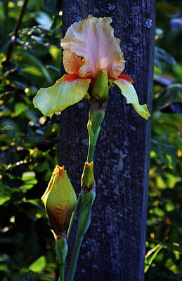 Photograph - Pink And Yellow Iris 6758 H_2 by Steven Ward