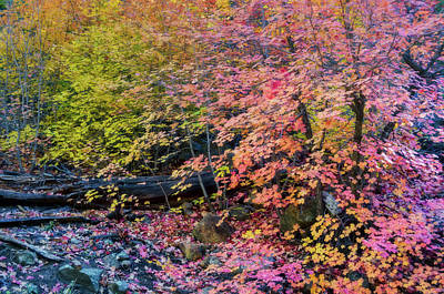 Photograph - Pink And Yellow Maple  by Saija Lehtonen