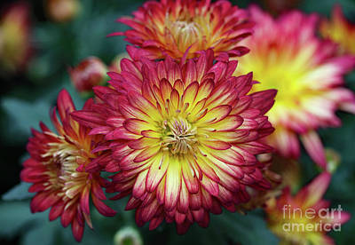 Photograph - Pink And Yellow Mums by Mary Haber