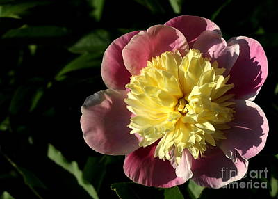 Photograph - Pink And Yellow Peony by Kenny Glotfelty