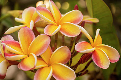 Photograph - Pink And Yellow Plumeria 2 by Brian Harig