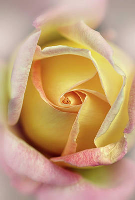 Photograph - Pink And Yellow Rose by Jaroslaw Blaminsky