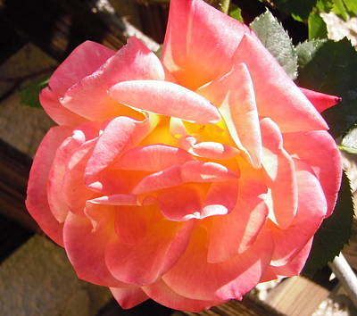 Photograph - Pink And Yellow Rose by Stephanie Moore