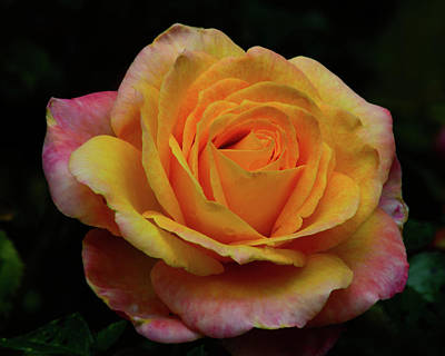 Photograph - Pink And Yellow Rose by Tikvah's Hope