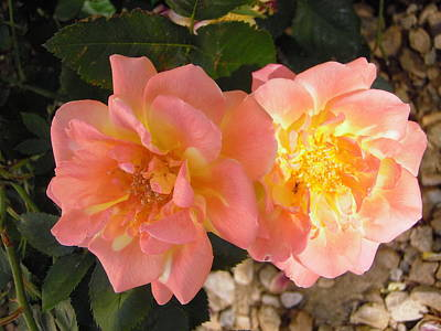 Photograph - Pink And Yellow Roses by Stephanie Moore