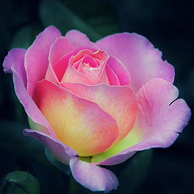Photograph - Pink And Yellow Single Rose by Julie Palencia