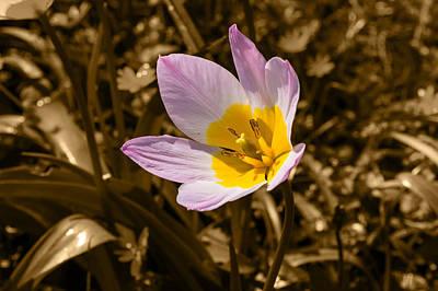 Photograph - Pink And Yellow Tulip On Sepia Background by Jacek Wojnarowski