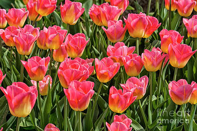 Mannequin Dresses Rights Managed Images - Pink and yellow tulips Royalty-Free Image by Patricia Hofmeester
