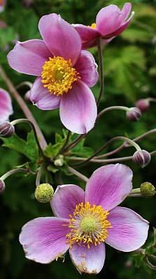 Photograph - Pink Anemone Delight by Bruce Bley