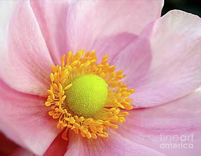 Pink Anemone Art Print by Kaye Menner