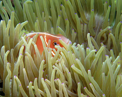 Photograph - Pink Anemonefish, Indonesia 2 by Pauline Walsh Jacobson