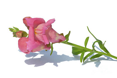 Photograph - Pink Antirrhinum On White by Terri Waters
