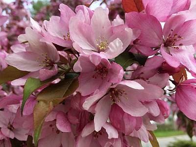 Photograph - Pink Apple Blossoms by Patricia E Sundik
