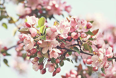 Detail Floral Photograph - Pink Apple Blossoms by Sandra Cunningham