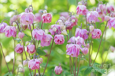 Photograph - Pink Aquilegia Flowers by Tim Gainey