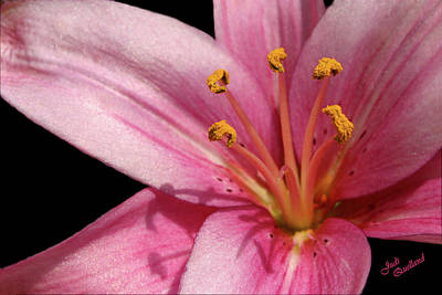 Photograph - Pink Asiatic Lily by Judi Quelland