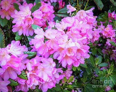 Photograph - Pink Azalea by Cheryl Del Toro
