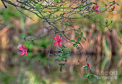 Photograph - Pink Azalea Dream by Deborah Benoit