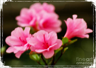 Photograph - Pink Azalea Flowers by Sandra Clark